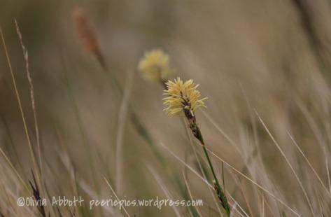 Yellow sedges